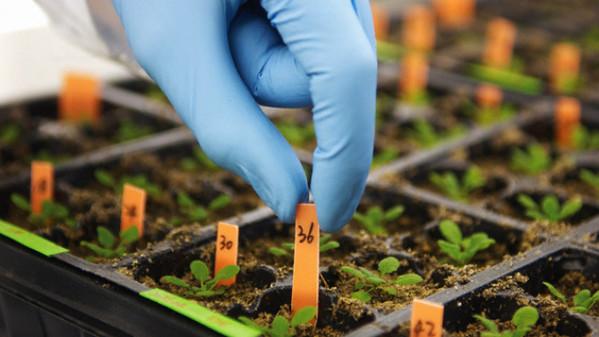 Ricerca genetica e agricoltura: ancora al fischio d'inizio 15 anni dopo
