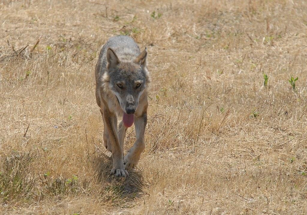 No alla disinformazione sul lupo