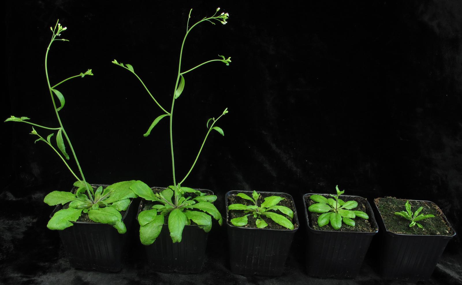 Arabidopsis thaliana, la pianta fuoriclasse della ricerca