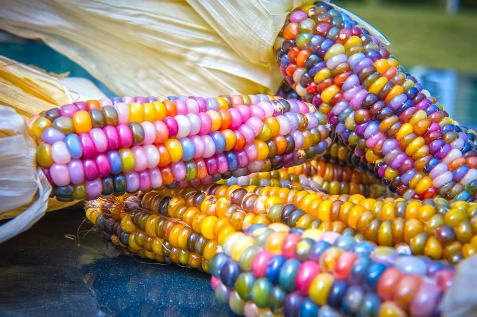 La bellezza nella biodiversità del mais multicolore