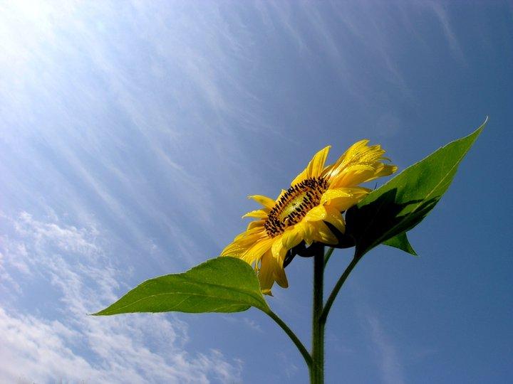 Come i girasoli seguono il sole, giorno dopo giorno