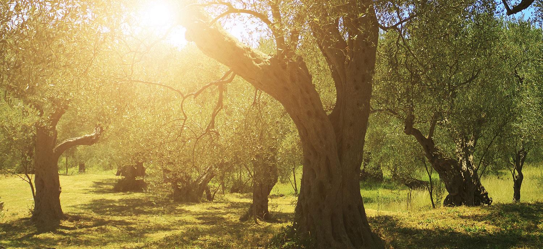 La sostenibilità inizia a tavola: ecco l'olio d'oliva italiano certificato sostenibile