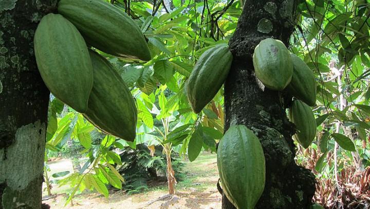 La democratizzazione del cacao
